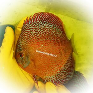 Discus Golden Sparkling Spotted Intermediate 15 cm