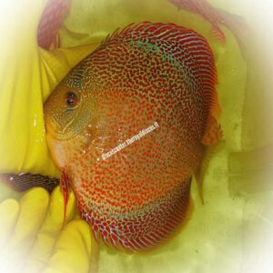Discus Golden Spotted Sparkling Intermediate 15 cm