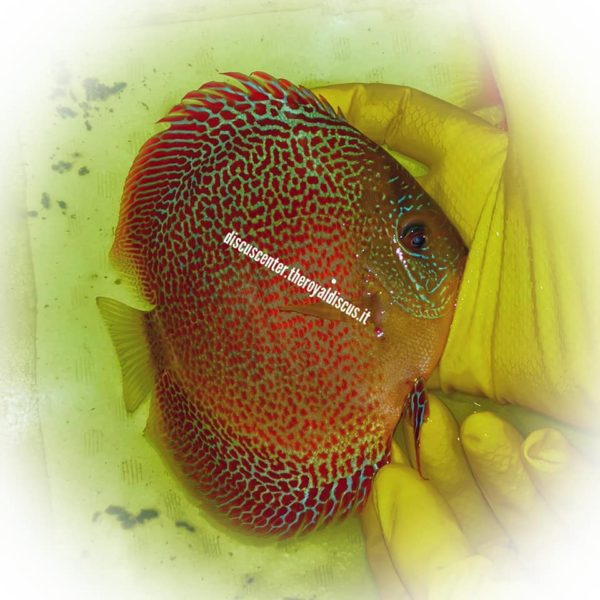 Discus Spotted Golden Sparkling Intermediate 15cm