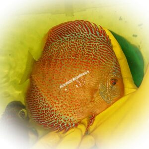 Discus Golden Sparkling Spotted Intermediate 15cm