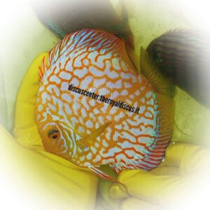 Discus Pigeon Checkerboard Yellow 15cm