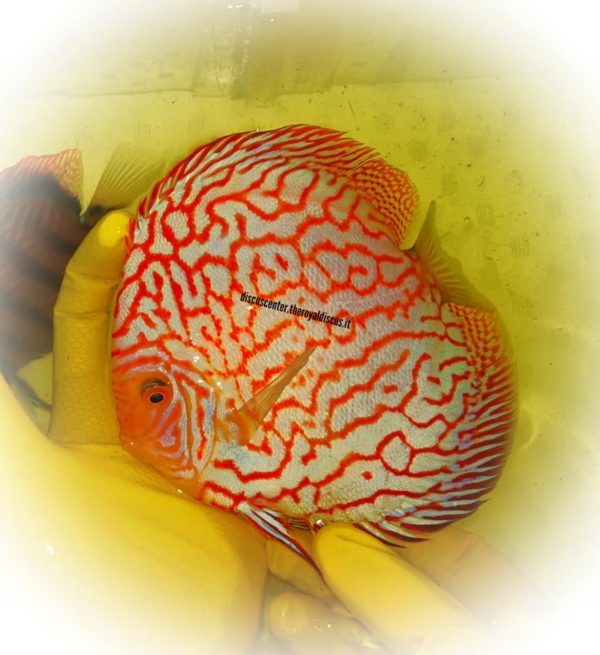 Discus Red Pigeon Checkerboard 16cm