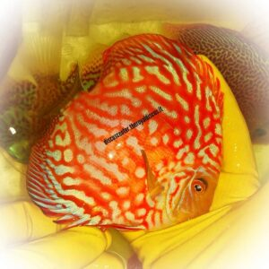 Discus Red Pigeon Checkerboard 14cm