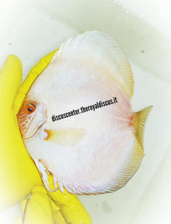 Discus White Butterfly 15 cm