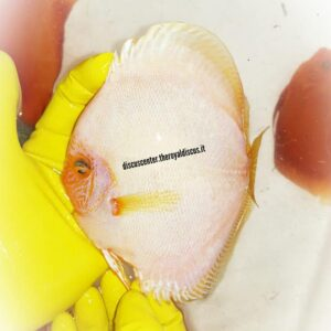 Discus White Butterfly 15cm