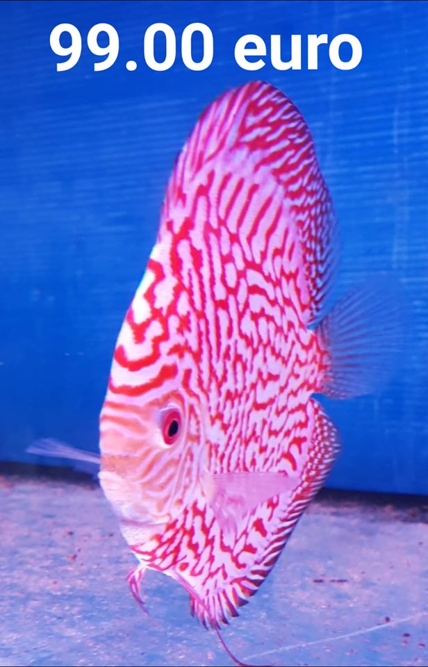 Discus Pigeon Red Map 14-15cm