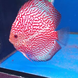 Discus Pigeon Red Map 15-16 cm