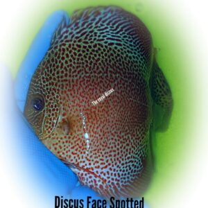 Discus Face Spotted 15-16cm