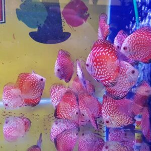 Discus Pigeon Checkerboard 9cm