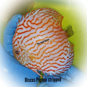 Discus Pigeon Stripped 15-16cm