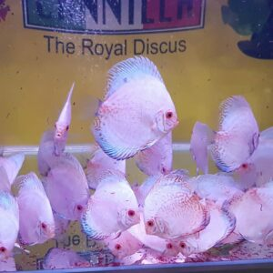 Discus White Butterfly 9-10cm