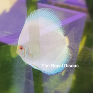 Discus White Butterfly Selection 13cm