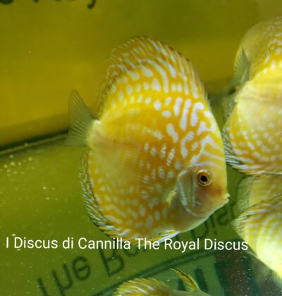 Discus Yellow Checkerboard 12 cm