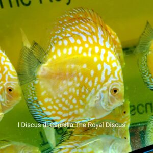 Discus Yellow Checkerboard 12cm