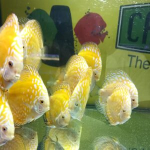 Discus Yellow e Yellow Checkerboard 12-13cm