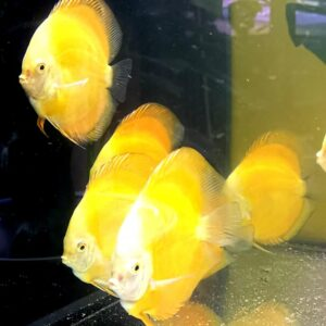 Offerta Discus Yellow e Yellow Checkerboard 12-13cm 2 pcs