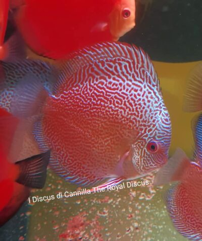 Discus 12-14cm Yellow Panda, Yellow Solid, Blu Snake Skin, Red Melon.