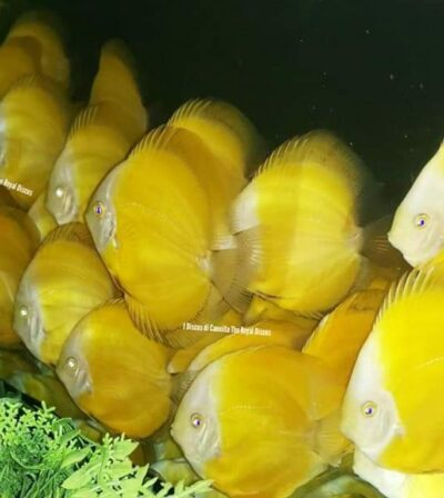 Discus Yellow Lemon 10cm