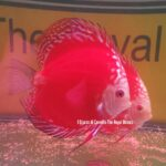 Discus Super Red Panda 13-14cm