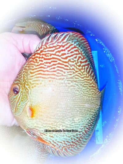 Discus Snake Skin Red 16-17cm