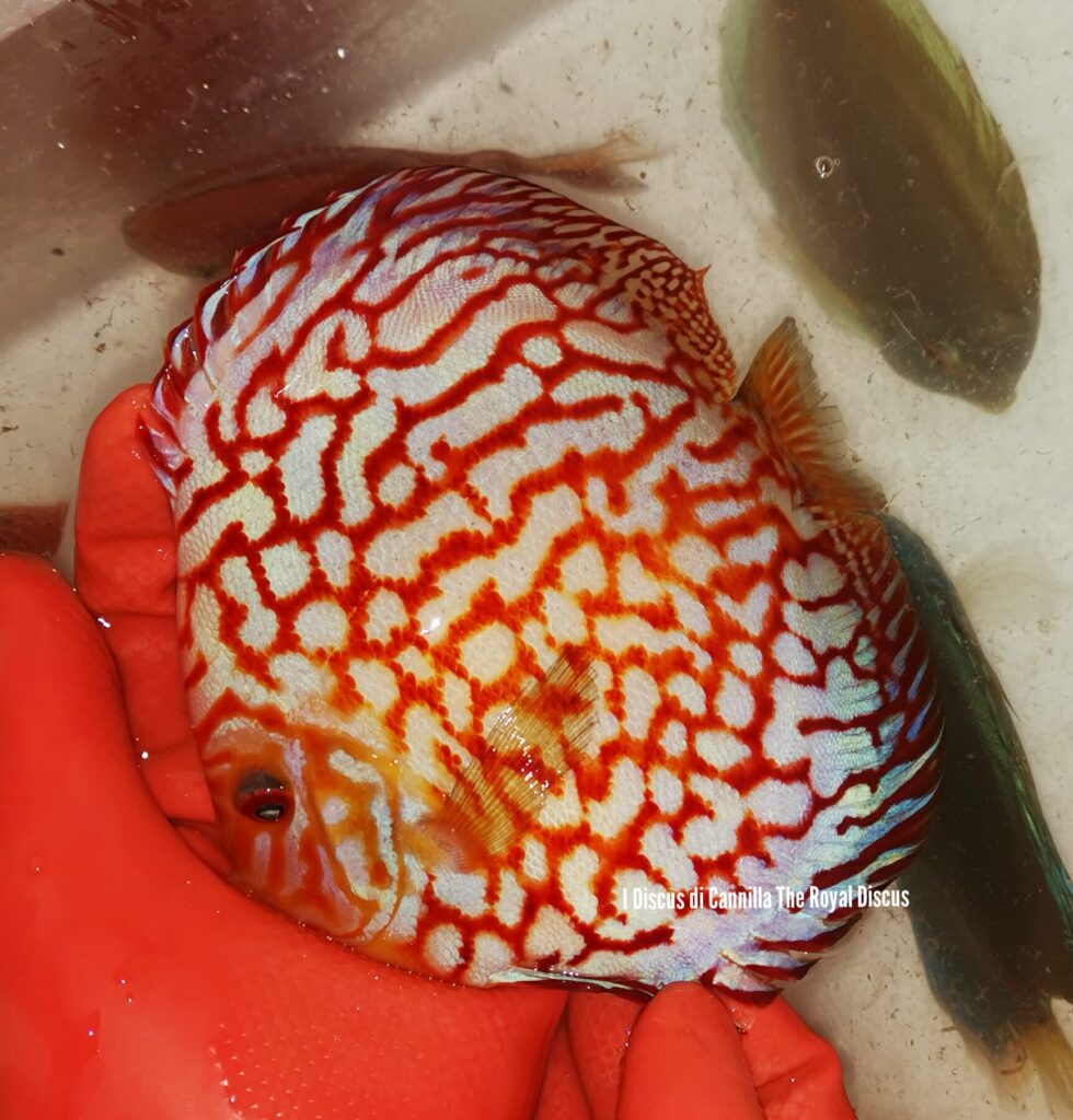 Discus Pigeon Red Map 16cm