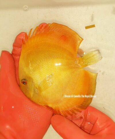 Discus Solid Yellow 15 cm