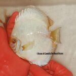 Discus White Butterfly 16 cm
