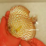 Discus Yellow Tiger 15cm